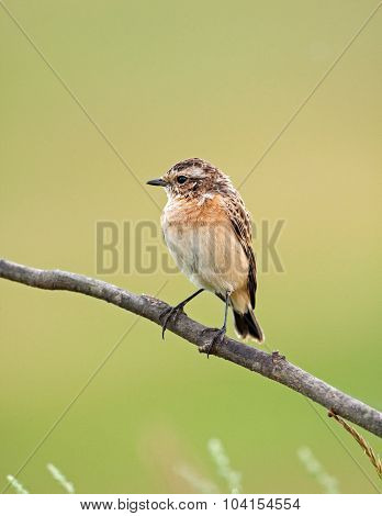 Young A Whinchat On A Branch