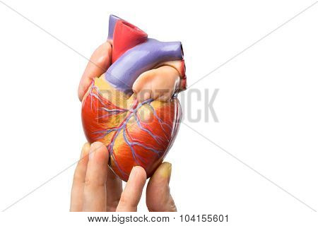 Fingers Showing Model Human Heart On White