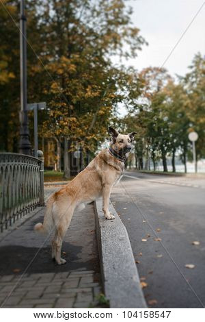 Mixed Breed Dog In Autumn Park