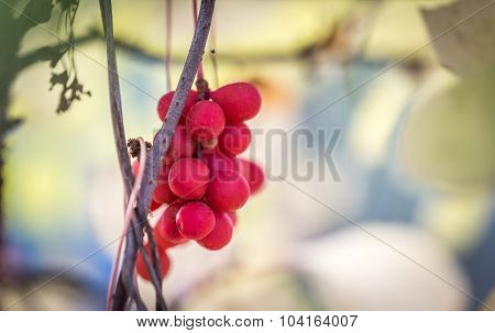 Branch Of Chinese Magnolia Vine Berries