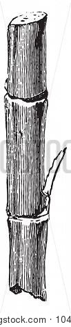 Section cane, vintage engraved illustration. Industrial encyclopedia E.-O. Lami - 1875.