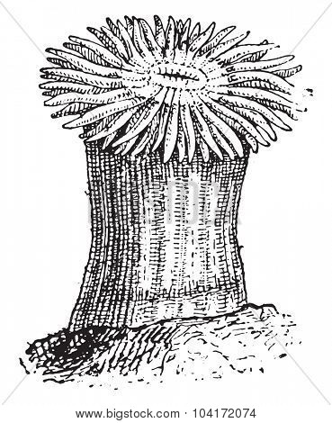 Sea anemone, vintage engraved illustration. Dictionary of words and things - Larive and Fleury - 1895.