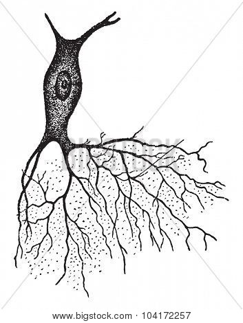 A nerve with bush like projection, vintage engraved illustration.