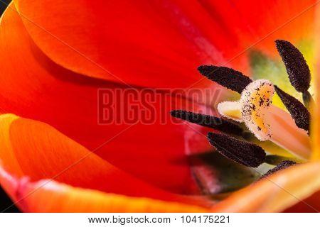 Close-up red tulip