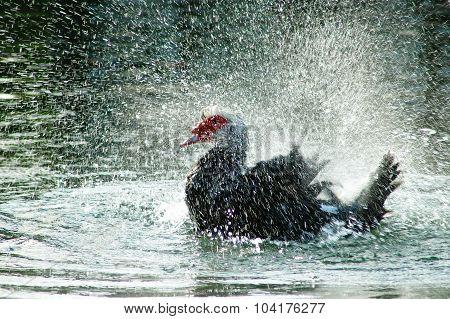 Sparkling Water Duck