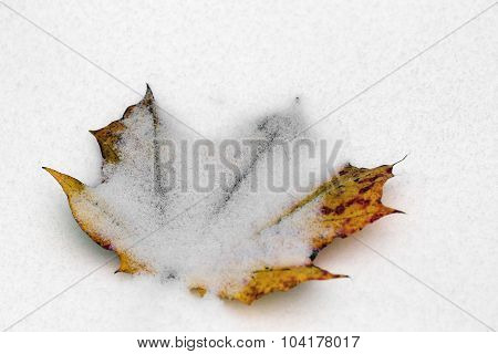 Yellow Autumn Leave Of A Maple Covered With Snow