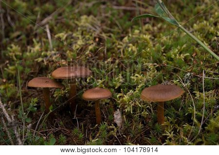 Norwegian Mushroom Surprise Webcap or Red-gilled