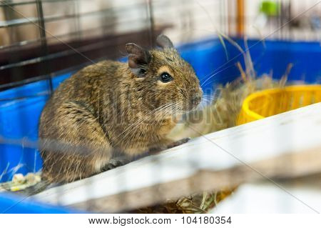 Guinea pig for sale in pet shop