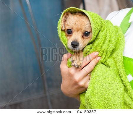 Small dog wrapped in the towel after bathing