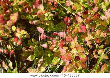 Bush Blueberries In Autumn.