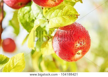 Red fresh applefruit on tree during farm harvest in orchard garden