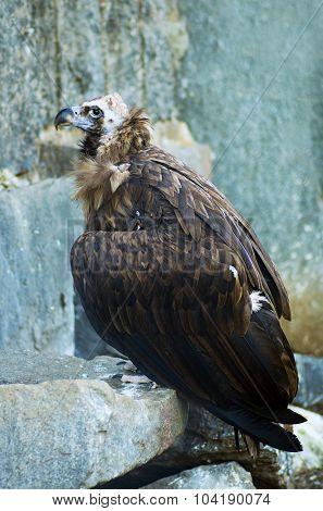 Black Vulture In A Wildlife