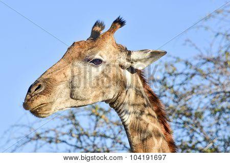 Giraffe Portrait - Etosha, Namibia