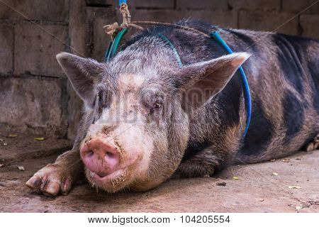 Close Up Domestic Big Pig In A Farm