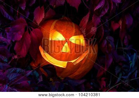 Halloween pumpkin among leaves of wild grapes at night