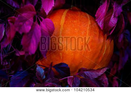 Pumpkin among leaves of wild grapes at night