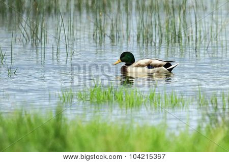 Male mallard or wild duck, anas platyrhynchos, portrait