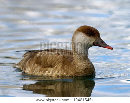 Red-crested female pochard duck, netta rufina