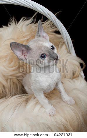 Cute Little Cornish Rex Kitten In Basket With Fur