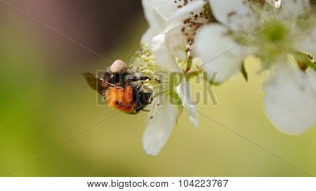 Bee Pollinating Cherry Flowers Close-up