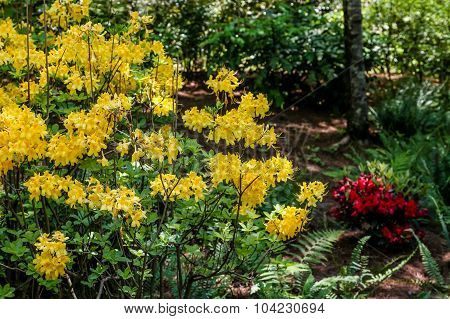 Yellow Forsythia And Red Azaleas