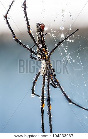 The Golden Silk Orb-weaver
