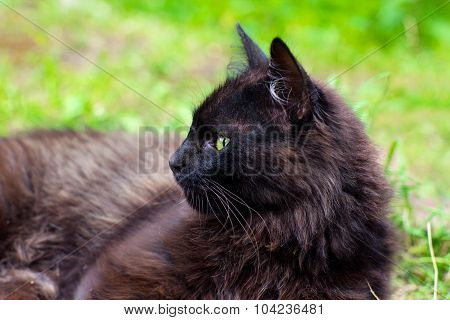 Close-up Portrait Of Dark Brown Cat With Green Eyes