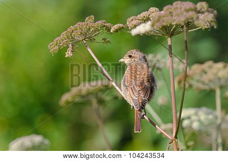 Portrait Of An Young Red-backed Shrike On The Umbrella Plant