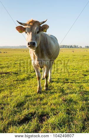 Curiously Looking Light Brown Cow From Close