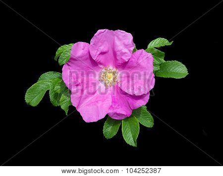 Pink Rock Rose Isolated
