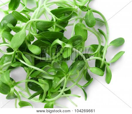 Green young sunflower sprouts close up
