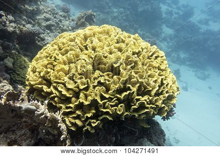Coral Reef With Yellow Coral Turbinaria Mesenterina In Tropical Sea