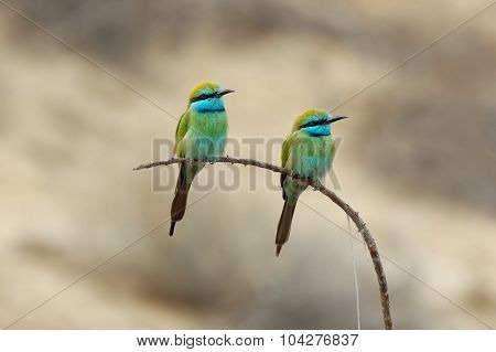 Two Perching Little Green Bee-eaters In Sharjah Emirate Of Uae