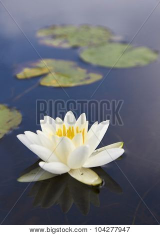 White Lily Floating On A Dark Water, Macro