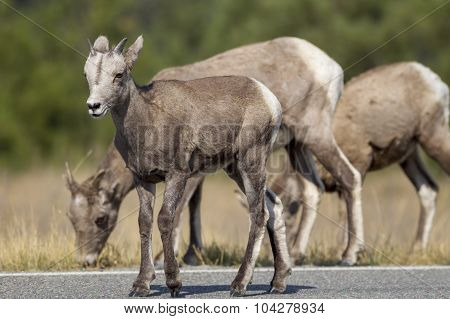 Young Bighorn On Road.