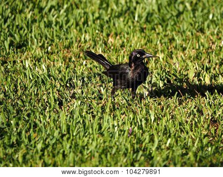 Common Grackle on Grass