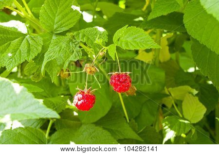 Raspberry Berries
