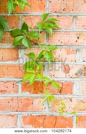 Brick Wall With Loach