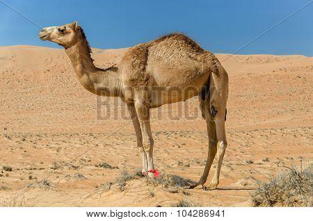 Camel Walking Through A Desert