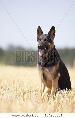 German shepard dog sit in field