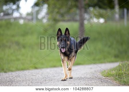 german shepard dog go for a walk