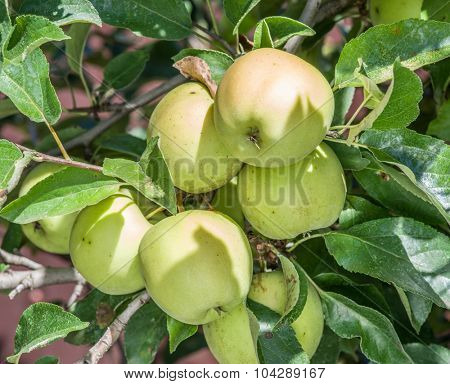 Ripe Golden Delicious apples on the tree. Closeup shot.