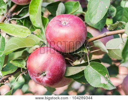 Ripe Spartan apples on the tree. Closeup shot.