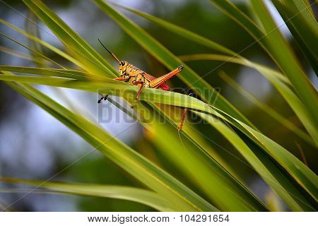 Grasshopper on blade of grass.