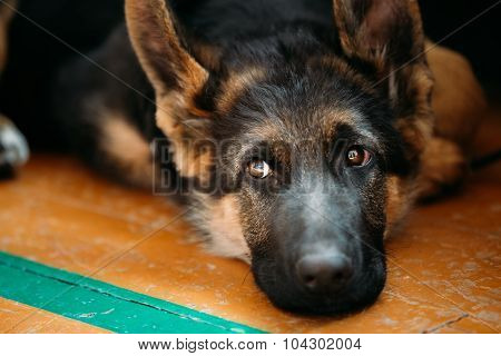 Close Up Young German shepherd Puppy Dog