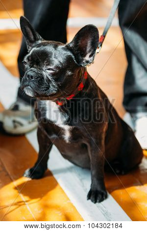 Black Funny Dog French Bulldog sitting on old wooden floor indoo