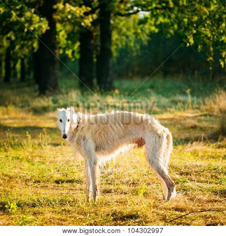 White Russian Dog, Borzoi, Hunting dog in Summer Woods