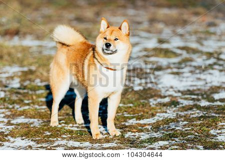 Young Shiba Inu Puppy Dog Outdoor In Spring
