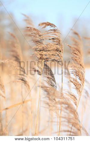 Coastal plant cane Phragmites in the winter on wind