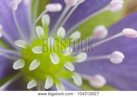 Wild forest flowers Hepatica closeup